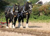 image of shire horse  - Two Heavy Shire Horses Pulling a Vintage Plough - JPG