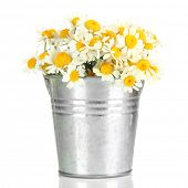 Beautiful wild camomiles in  pail, isolated on white