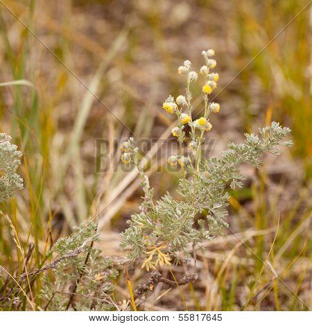 Wild Sage Wormwood Artemisia Figida Yellow Flower