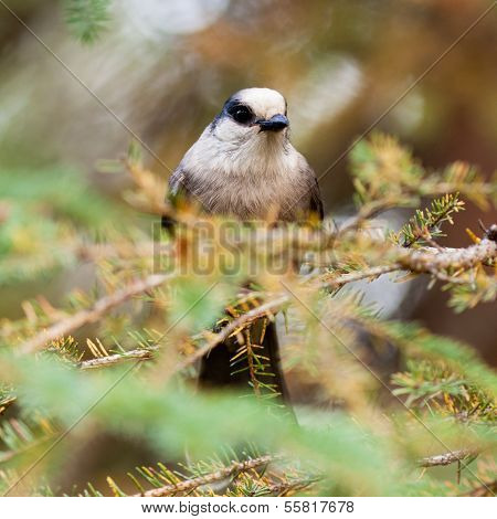 Grey Jay Perisoreus Canadensis Watching Perched
