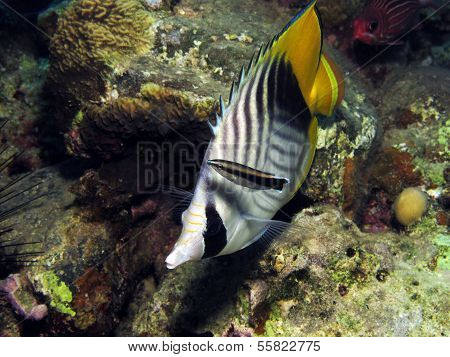 Butterflyfish cleaning