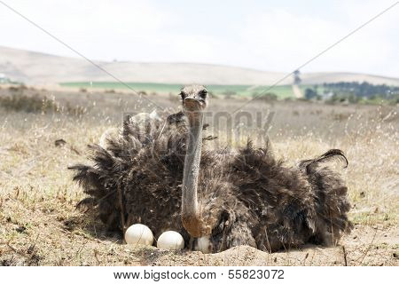 Adult Ostrich On Eggs