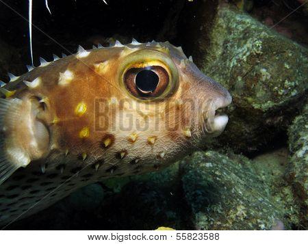 Porcupinefish portrait