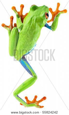 red eyed tree frog from tropical rainforest of Costa Rica isolated on white. Beautiful green and blue treefrog is an exotic animal from the rain forest. Agalychnis callidrias