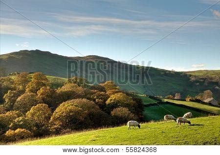 Sheep in autumnul English rural scene