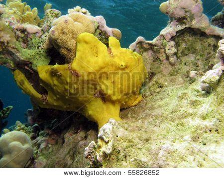 Big frogfish