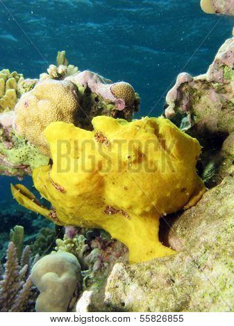 Yellow anglerfish