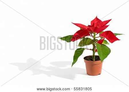 Potted Christmas Poinsettia