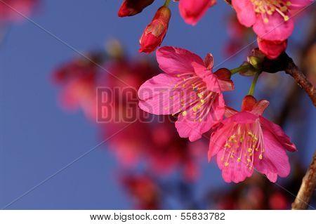 flowers sakura