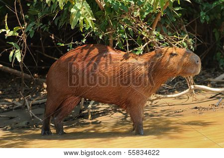 Wild Capybara In The Amazon Area In Bolivia