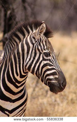 Zebra Head Side Profile Picture