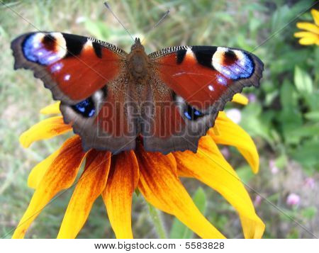 Live Rainbow - European Peacock butterfly on a flower