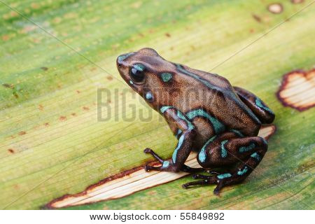 Poison arrow frog, Dendrobates auratus camouflage from the tropical rain forest in Panama. Beautiful poisonous amphibian on a leaf.
