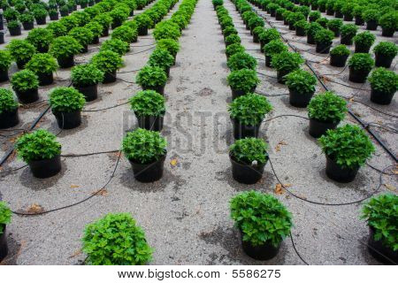 Rows Of Plants