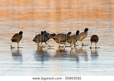 Coots Flock On Icy Lake