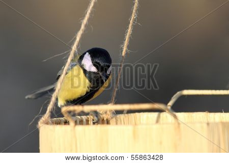 Great Tit Looking For Food