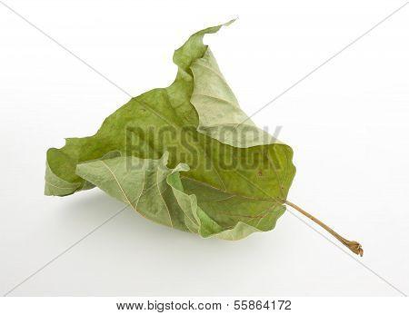 Dead Green Leaf