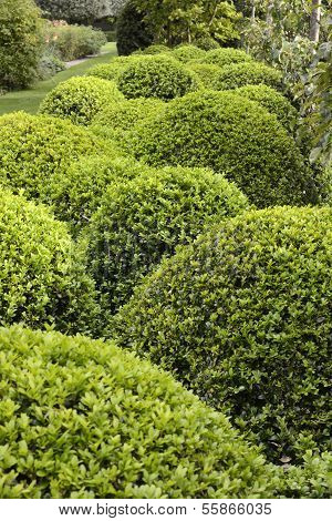 Topiary Bushes In English Garden