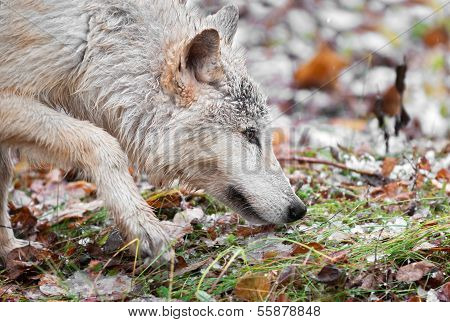 Blonde Wolf (Canis lupus) Prowls Close Up