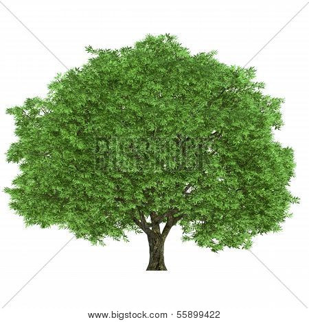 Large tree on a white background