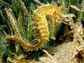picture of seahorses  - A golden thorny seahorse shies in seagrass - JPG