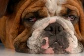 image of droopy  - close up of ugly english bulldog with sad droopy eyes - JPG