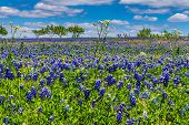 stock photo of bluebonnets  - A Beautiful Wide Angle Shot of a Colorful Texas Prairie Landscape Blanketed with the Famous Texas Bluebonnet  - JPG