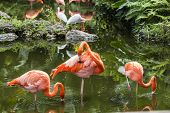 image of pink flamingos  - Pink Flamingos or Flamingoes the only genus in the family Phoenicopteridae - JPG