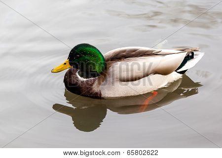 Wild Mallard Duck (anas Platyrhynchos) Swimming On A Lake