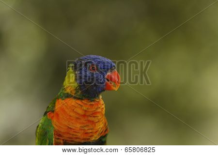 Rainbow Lorikeet portrait