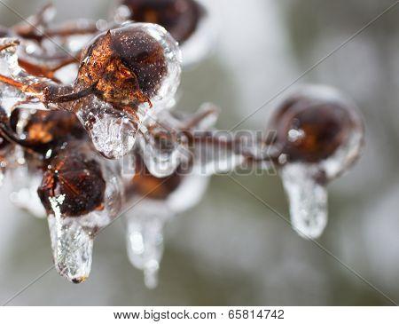 Icy Crape Myrtle