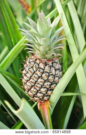 Young Pineapple In The Farm