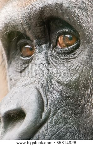 gorilla female face