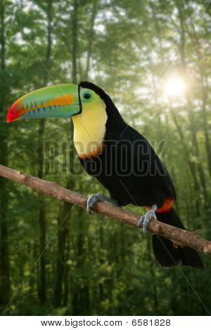 Kee Billed Toucan Bird Colorful