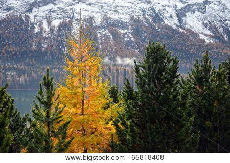 Yellow Larch Among The Green Firs