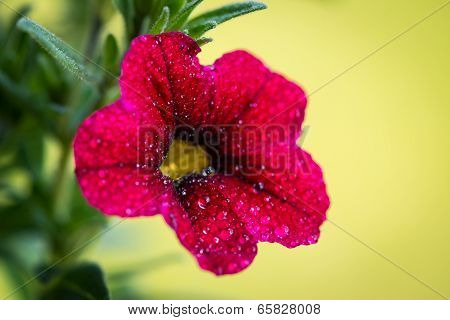 red petunia flower of the nightshade family with water drops