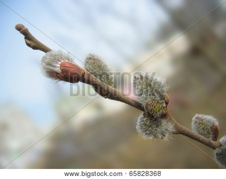 Spring. Pussy-willow Twig With Melting Buds