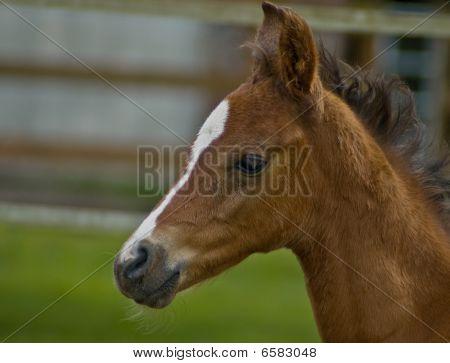 Quarter Horse Foal In Profile