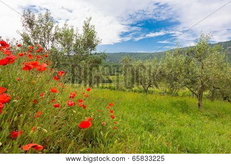 Red poppy and olive tree groew.