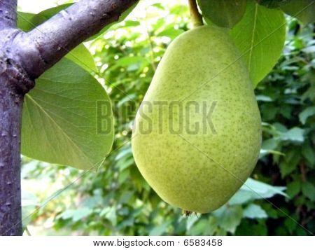 Fruit Pear