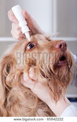 Vet Applying Eye Drops To A Dog