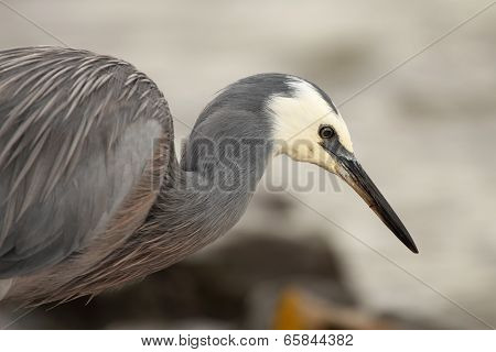 White-faced Heron Hunting