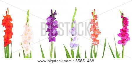 Collage of gladiolus flowers isolated on white