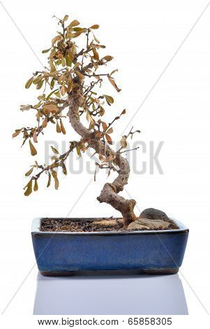 Dead Plant (carmona) In A Bonsai Pot Isolated.