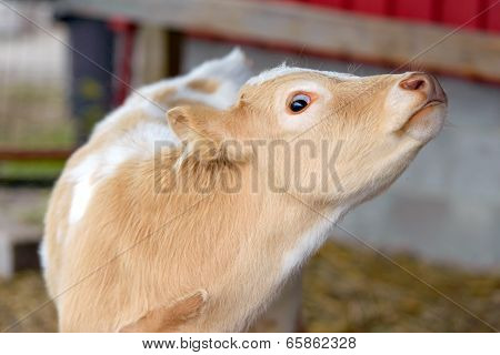 Wide Eyed Calf