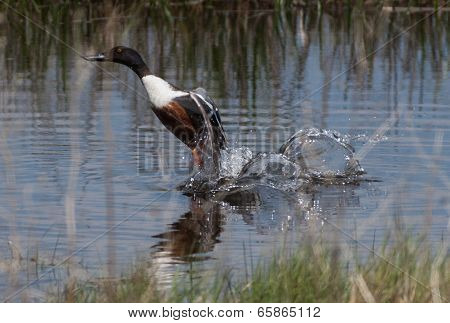 Northern Shoveler Taking Flight From A Pond In A Wildlife Preserve