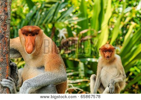 Male And Female Proboscis Monkeys In The Mangroves