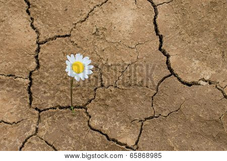 Daisy Flower In The Desert