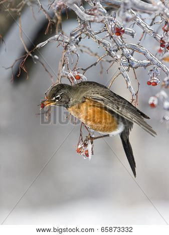Robin Eating a Red Ice Covered Berry