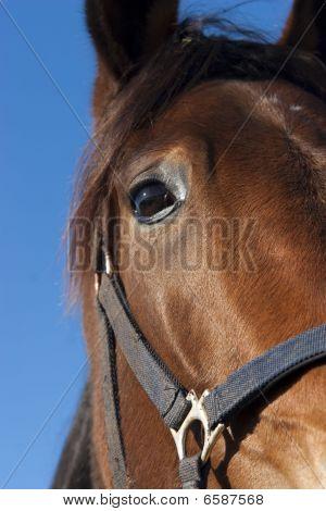Retrato de caballo